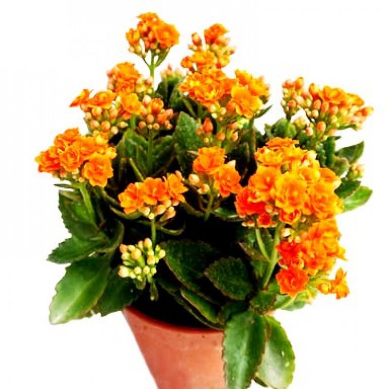 Buy Calanchchu Orange Double Kalanchoe Plant Online At