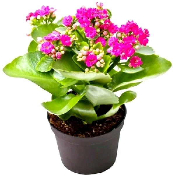 Calanchchu Pink Double - Kalanchoe Plant