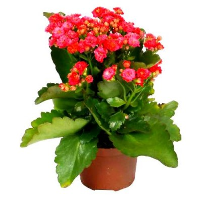 Calanchchu Red Double - Kalanchoe Plant