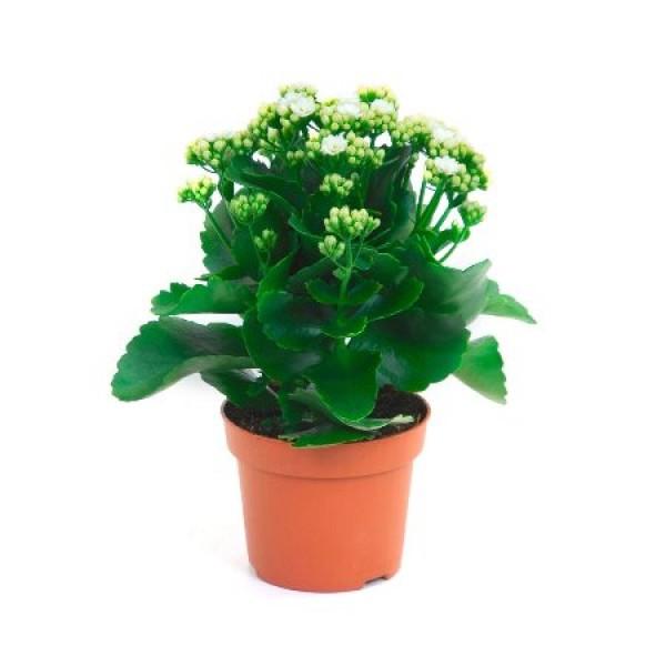 Calanchchu White - Kalanchoe Plant