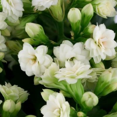 Calanchchu White Double - Kalanchoe Plant