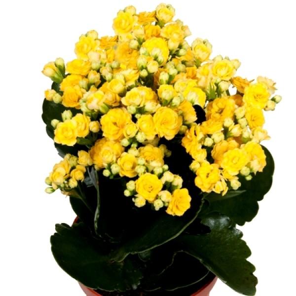 Calanchchu Yellow Double - Kalanchoe Plant