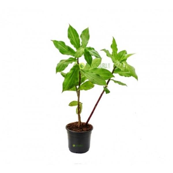 Costus Igneus - Insulin Plant