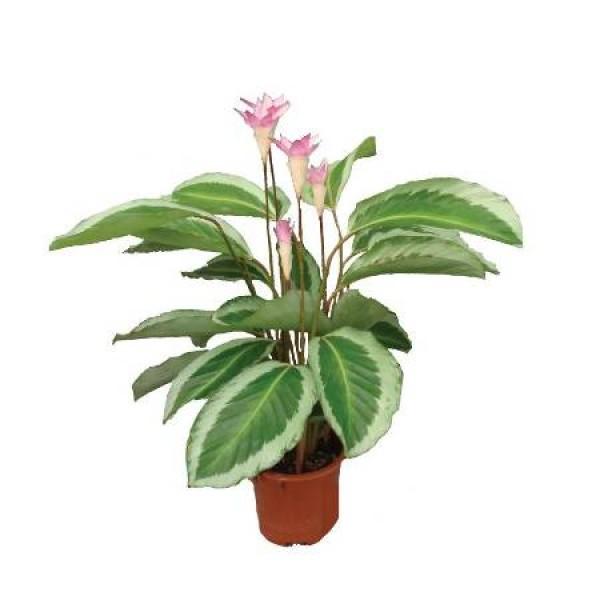 Marantha Bicolor Plant - Maranta, Calathea Bicolor