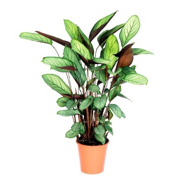 Marantha Grey Star - Calathea Grey Star, Maranta