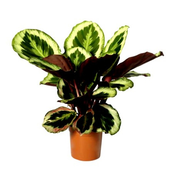 Marantha Medallion Plant - Calathea Medallion, Maranta