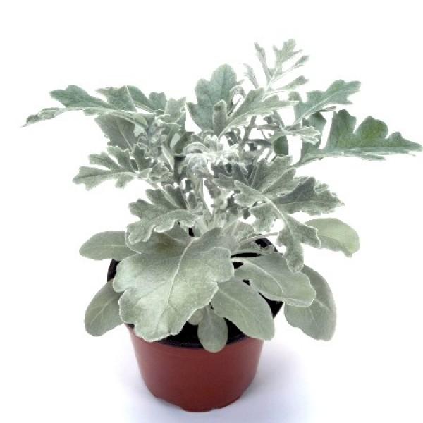 Silver Dust Plant - Cineraria Maritima