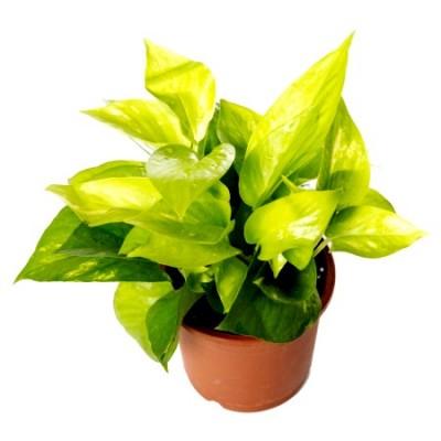 Money Plant Golden