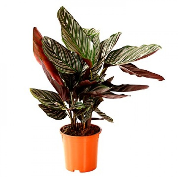 Marantha Ornata Plant - Maranta Majestica, Calathea Ornata
