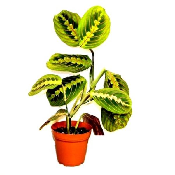 Marantha Red Veins - Calathea lancifolia, Maranta Tricolor
