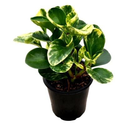 Peperomia Rubra Plant