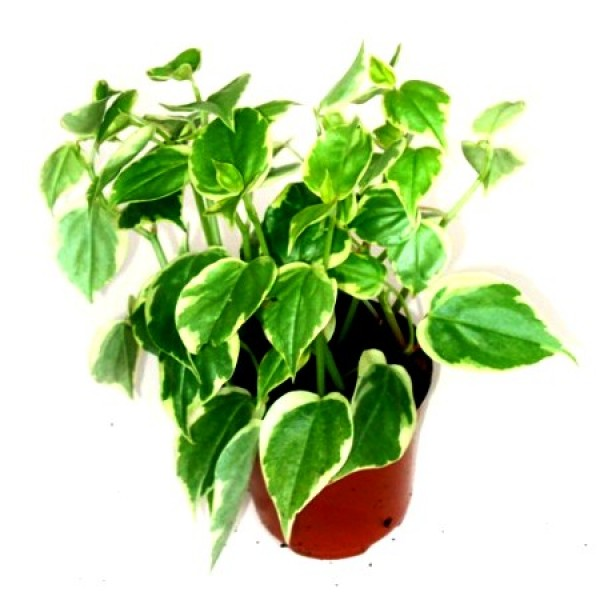 Paperomia Trailing Variegata Plant