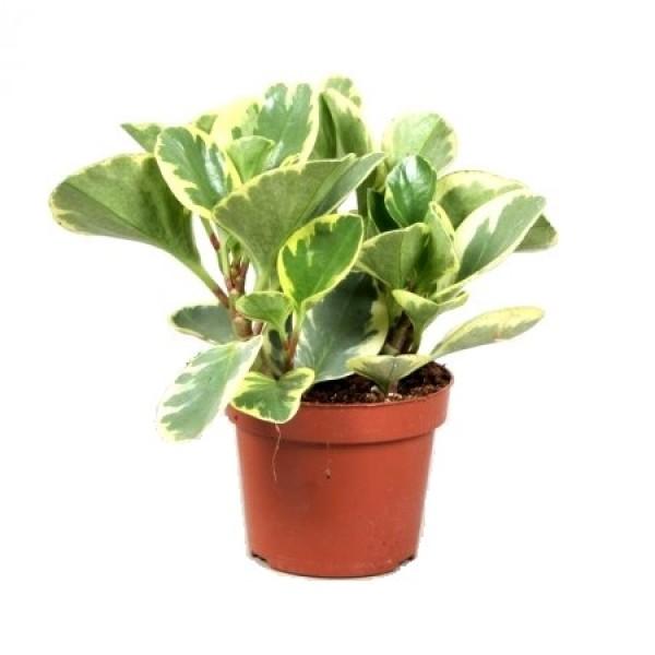 Peperomia Variegated Plant