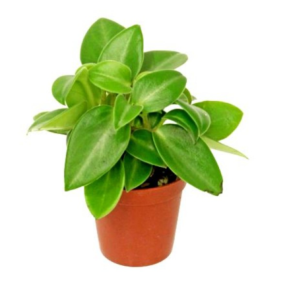 Peperomia Orba Plant