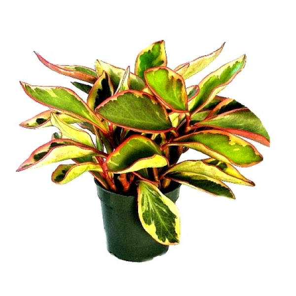 Peperomia Variegated Bicolor Plant