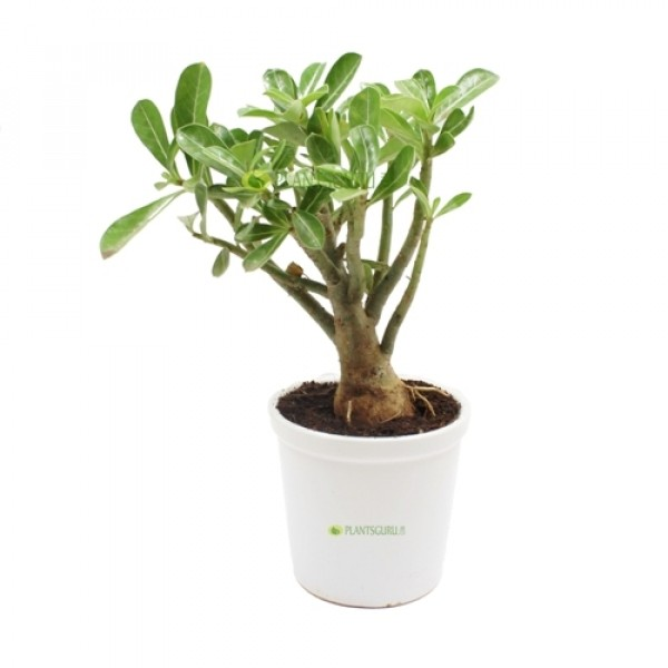 Adenium in White Ceramic Pot