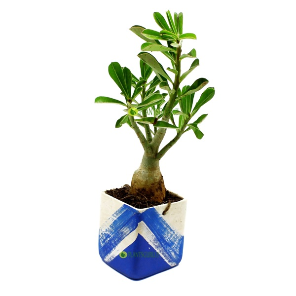 Adenium in Blue White Ceramic Pot