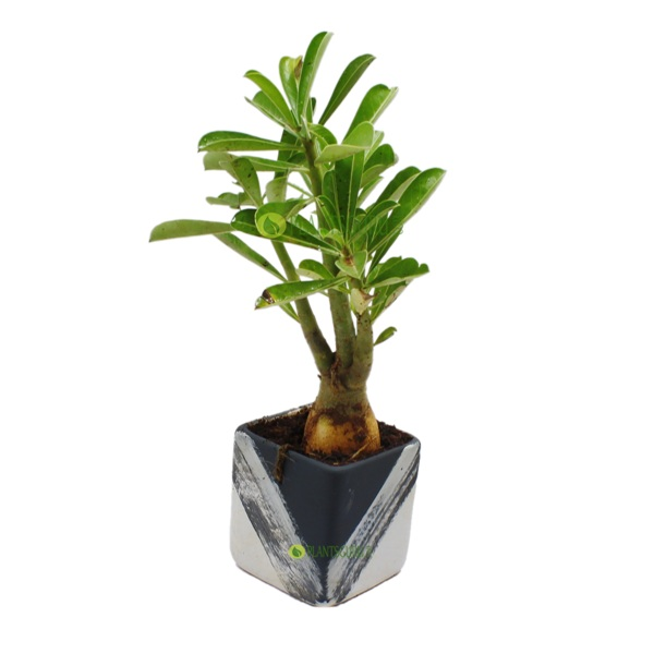 Adenium in Grey White Ceramic Pot