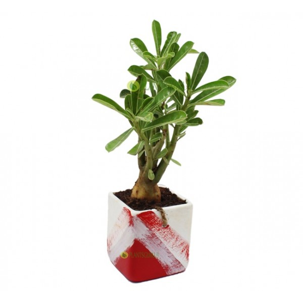 Adenium in Red White Ceramic Pot
