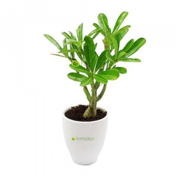 Adenium in White Round Ceramic Pot