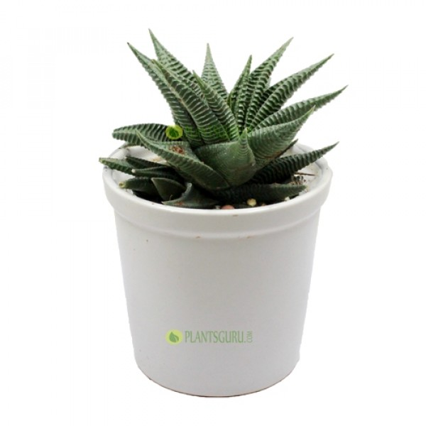 Haworthia Limifolia in White Ceramic Pot