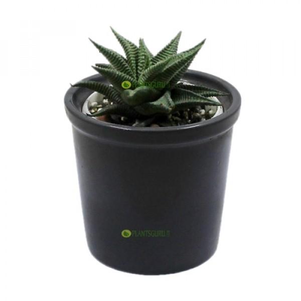 Haworthia Var In White Ceramic Pot