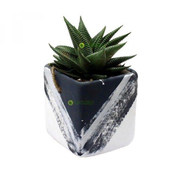 Haworthia Limifolia in Grey White Ceramic Pot