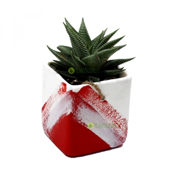 Haworthia Limifolia in Red White Ceramic Pot
