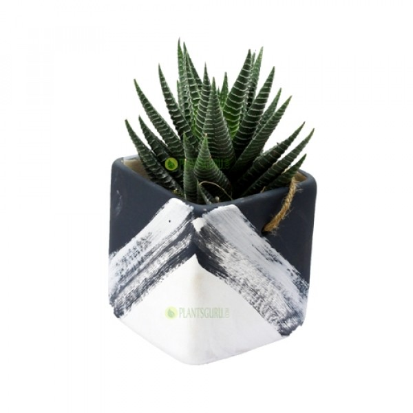 Haworthia Var in Grey White Ceramic Pot