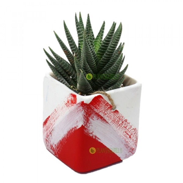 Haworthia Var in Red White Ceramic Pot