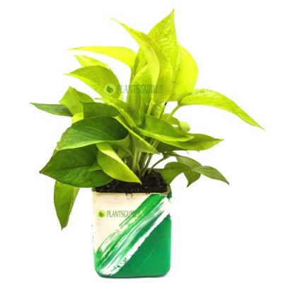 Money Plant Golden in Green white Ceramic Pot