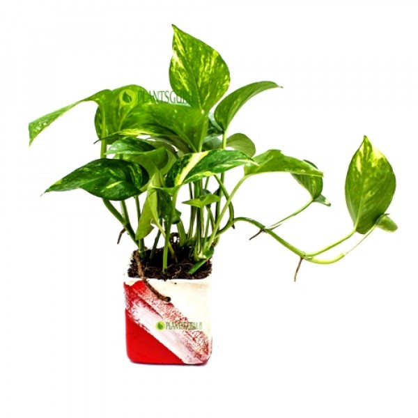 Money Plant in Red White Ceramic Pot