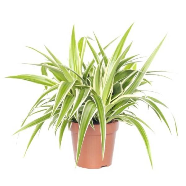 Chlorophytum Green - Spider Plant