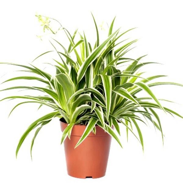 Chlorophytum Variegated Plant