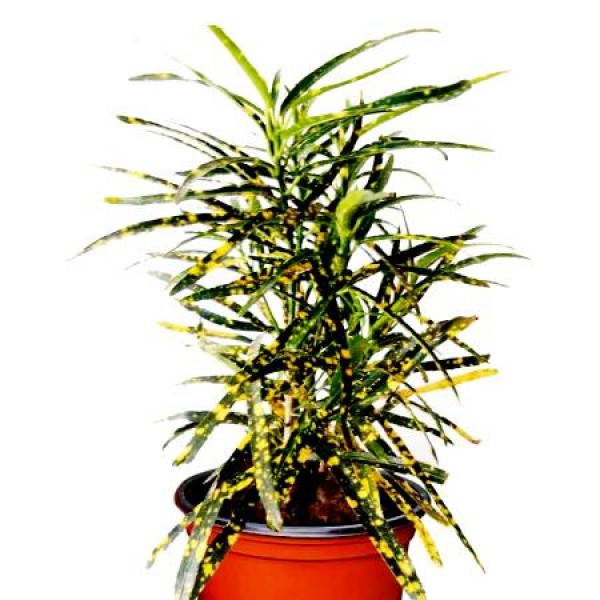 Croton Lemon Plant
