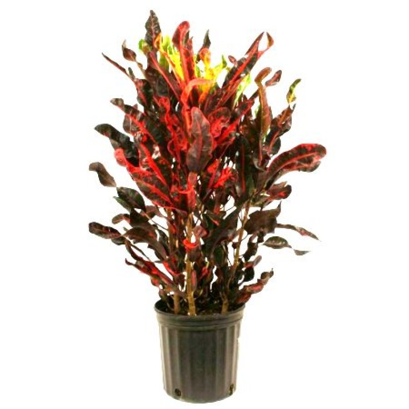 Buy Croton Mammy Plant Online India At Cheap Price