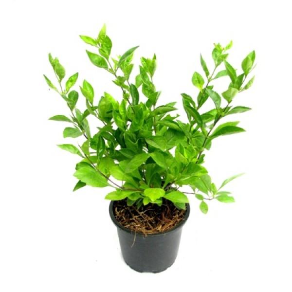 Duranta Golden Plant