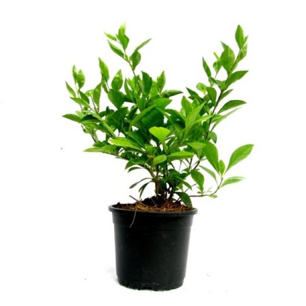 Duranta Green Plant