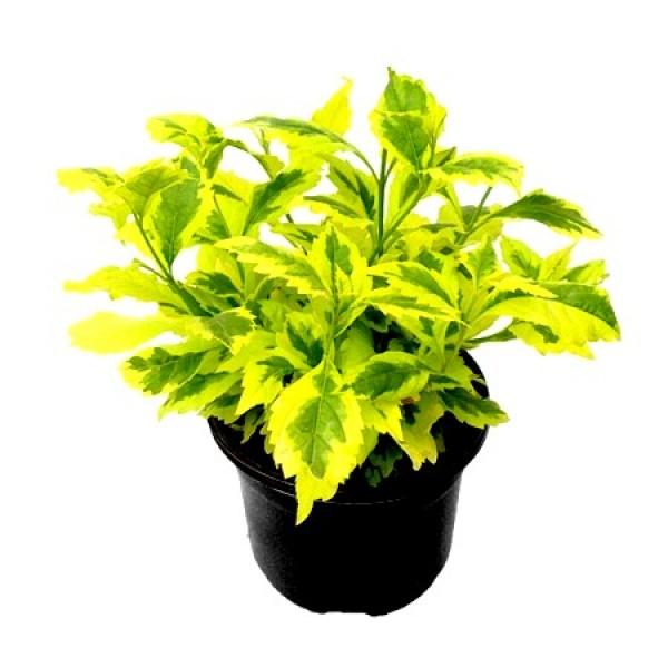 Duranta Sunshine Plant