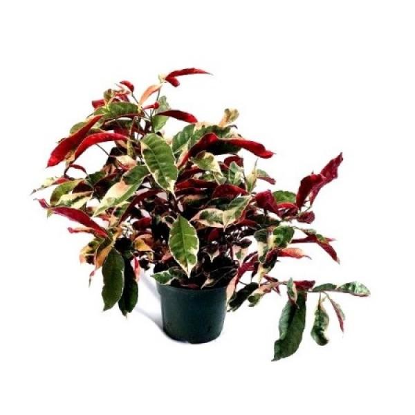 Excoecaria Bicolor Variegated - Laila Majnu Plant