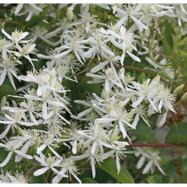 Clematis ligusticifolia - Ranjai Plant