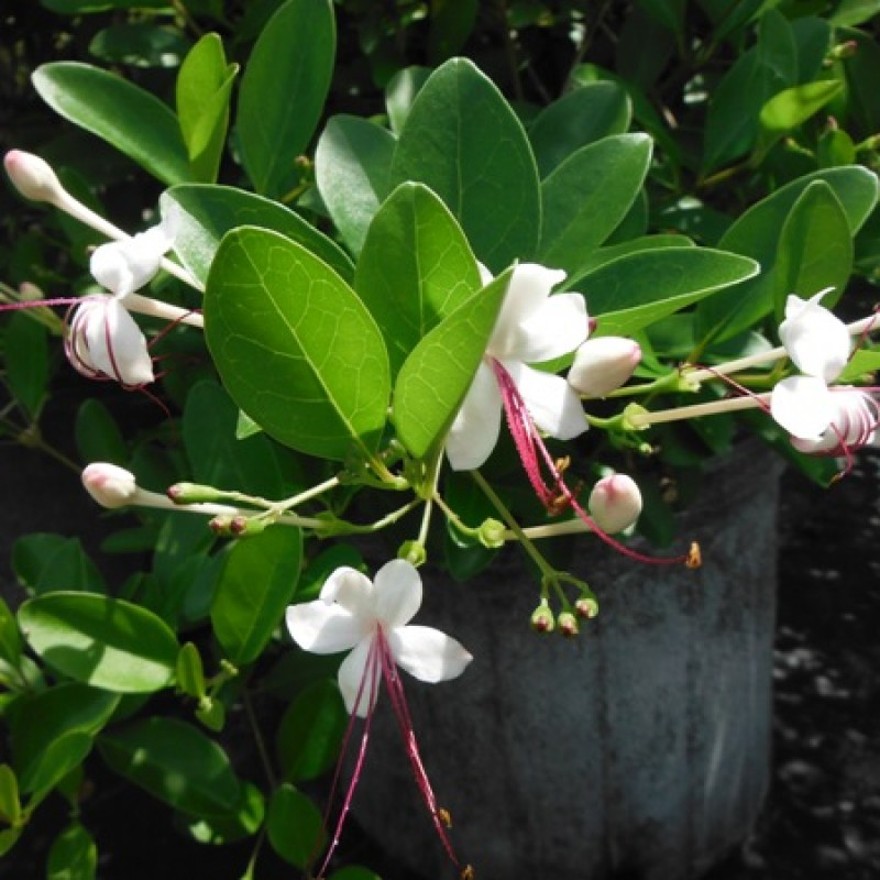 Clerodendron Inerme Koinal Plant