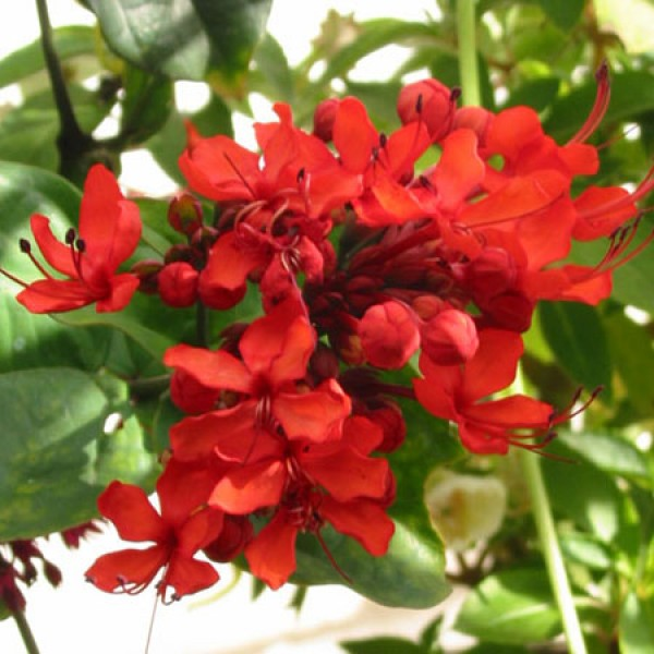 Clerodendron Splendens - Flaming Glorybower Plant
