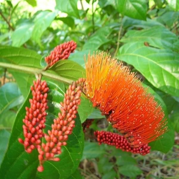 Combretum Plant (Monkey Brush Vine)