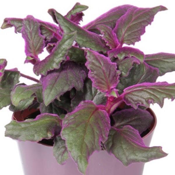 Gynura Aurantiaca - Purple Velvet Plant