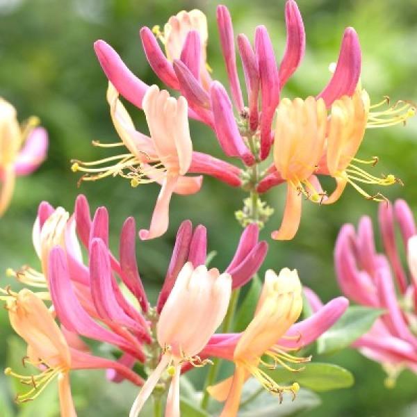 Honeysuckle Plant - Lonicera Plant