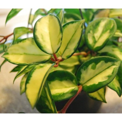 Hoya Carnosa Vareigata