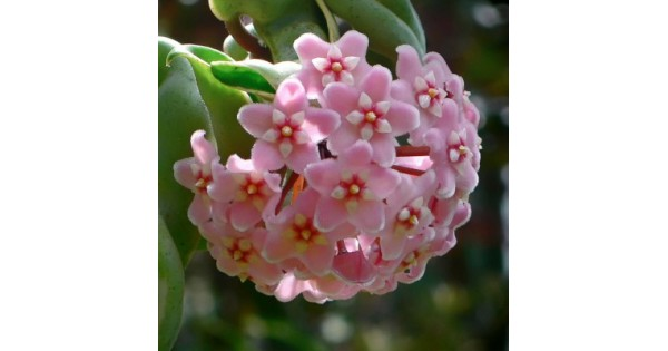 Buy Hoya Carnosa Vareigata Plant Online At Cheap Price On Plantsgurucom