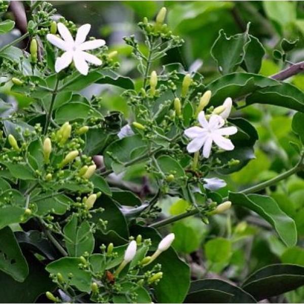Jui Plant - Juhi, Indian Jasmine,  Jasminum Molle
