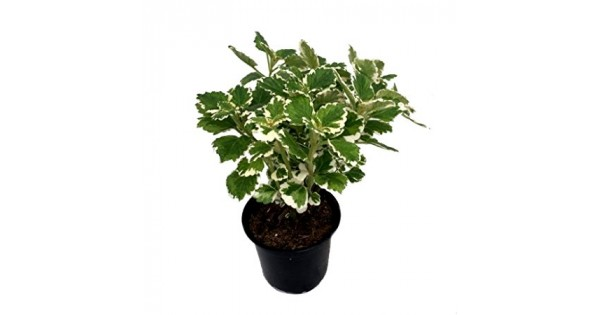 Buy Pilea Variegata plant online at cheap price on